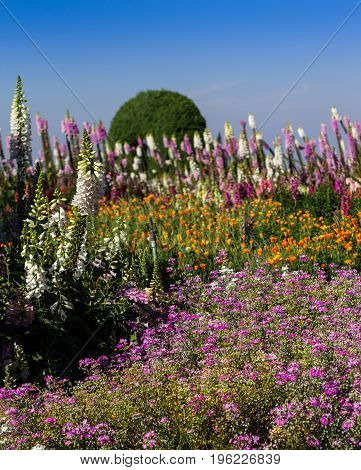 Beautiful colorful flowers in the garden at Doi Inthanon the highest mountain of Thailand