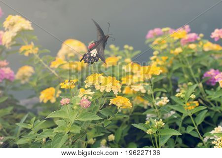 Beautiful Flowers With Motion Of Flying Butterfly. Common Rose Butterfly.