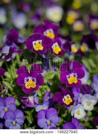 Pansy flowers at Doi Inthanon, Chiang Mai, Thailand