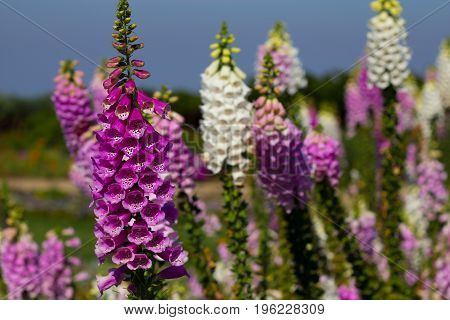Beautiful Foxglove flowers at Doi Inthanon Thailand