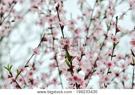 Apple flowers Spring blossom on sky background.