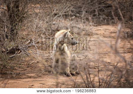 Young adult hyena in late afternoon sunlight, framed by the undergrowth of Kruger National Park, South Africa..