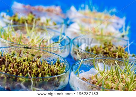 Experiments with plants in petri dish in the laboratory