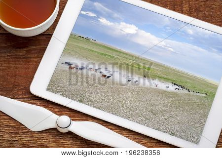 cattle moving with a dust cloud on  a dry prairie in western Nebraska, reviewing image on a digital tablet
