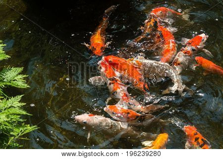 Koi fish going for their feed in a pond