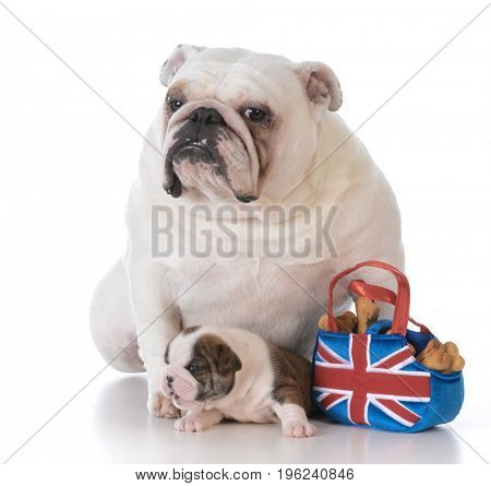 mother dog getting food for her puppy on white background