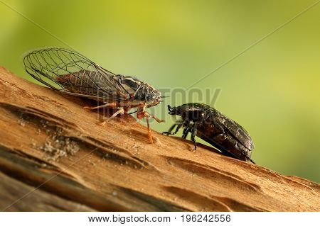 Cicada Euryphara and Rose chafer (cetonia aurata) on a twig looks at each other on  green background. poster