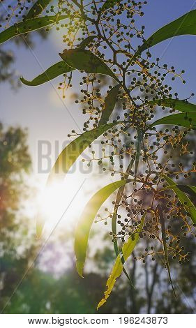 Bright sun rays shining through Australian zigzag wattle branches of Acacia macradenia in a silhouette bush scene during early morning in winter