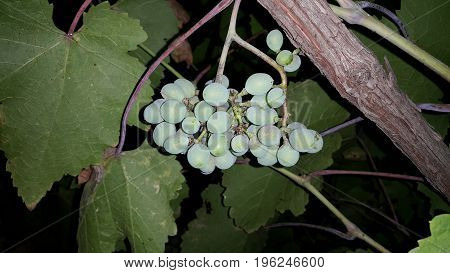 A bunch of wine grapes hang from a branch