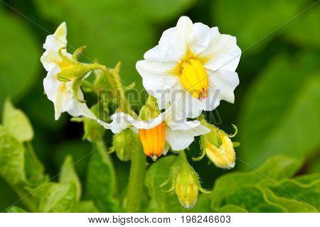 Potato field. Inflorescence Bush.White flower closeup in bloom.