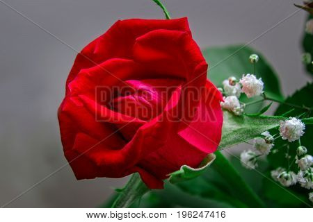 Red Rose Flower Head With Leaves And White Flowers