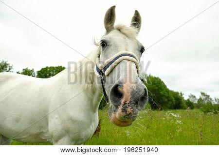 graceful white horse in a green field