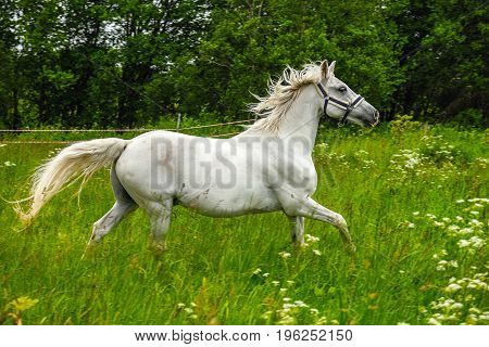 graceful white horse in a green field
