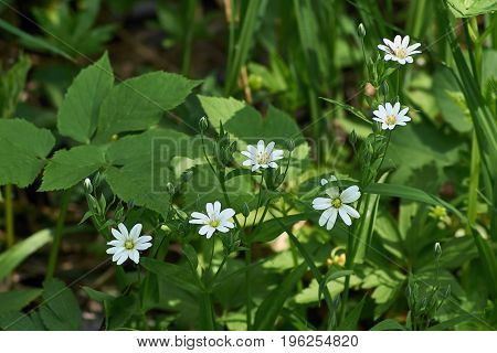 Small white spring flowers in a forest glade.