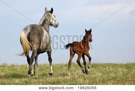 Dapple-grey mare and colt