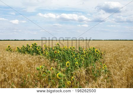 Sunflowers among a wheat field in the summer afternoon