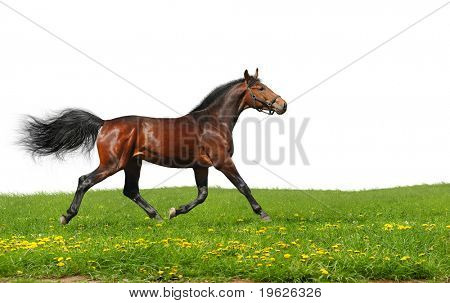 Hanoverian stallion trots - isolated on white