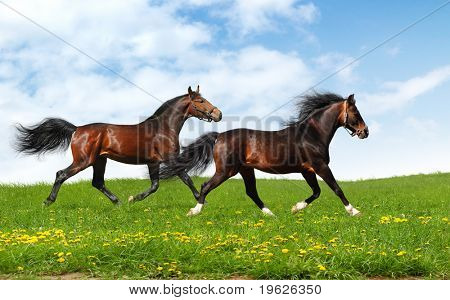 two stallions trot - realistic photo-montage