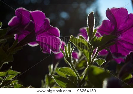 Petunia is genus of 35 species of flowering plants of South American origin. On the picture is petunia in the sunshine.