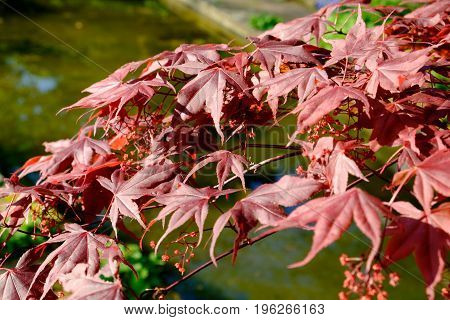 bright red japanese red ader palmatum maple leaves natural background