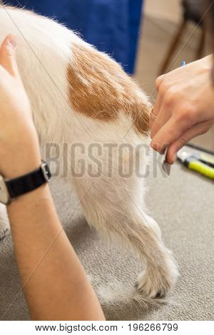 Jack Russell Terrier Getting His Hair Cut
