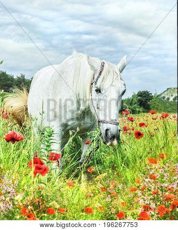 Beauty adult white horse in poppy field