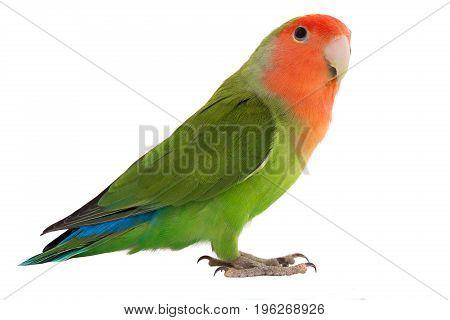 lovebird parrot isolated on a white background, studio shot