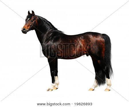 trakehner stallion - isolated on white