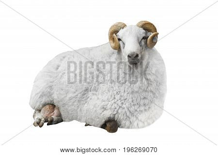 white ram isolated on a white background