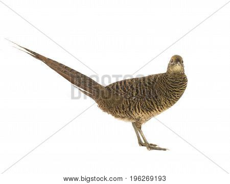 Female Pheasant Gold