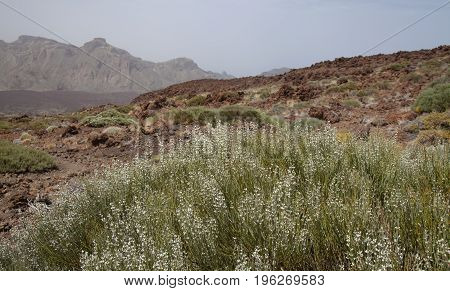 Canary Islands Tenerife white-flowering high altitude broom species Spartocytisus supranubius Broom over clouds Retama del Teide flowers on the south west slopes of the volcano