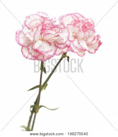 Pretty Pink Carnation Isolated