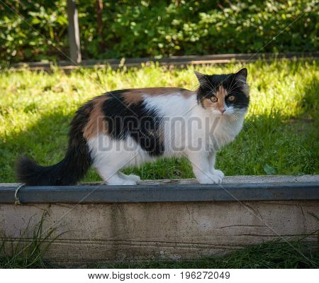 cat one is walking in the courtyard in summer
