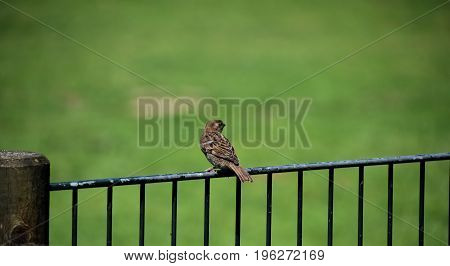 Lonely sparrow sitting at a fence, green background
