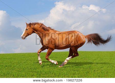 Sorrel trakehner stallion gallops in field