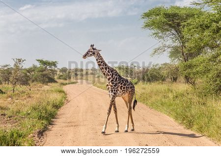 Solitary wild giraffe crossing dirt road in Amboseli national park, Kenya.