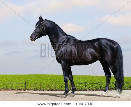 Trakehner black stallion - horse form