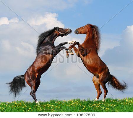 Battle of horses on green field