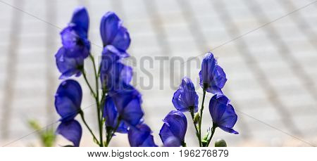 Blue flowers delphinium on a gray background. Flower isolated on blur background.