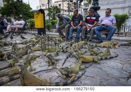 Guayaquil Ecuador - January 21 2014: Group of iguanas in the Parque Bolivar (Bolivar Square) in the city of Guayaquil in Ecuador South America