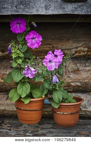 petunia plant with pink blossom on wood wall