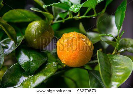 Close up view of Kumquat tree (mini orange)