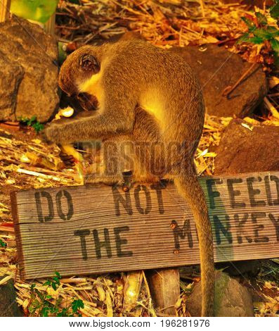 Do Not Feed Monkey, eating on sign