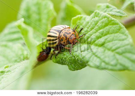 Insect Beetle Leptinotarsa Decemlineata - Serious Pest Of Potatoes. Colorado Potato Striped Beetle On Green Leaf Of Potato.