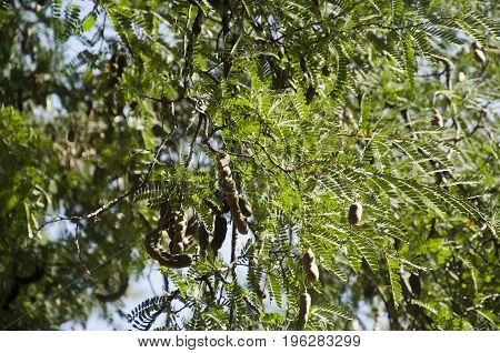 Movement Of Leaf On Branch Of Tamarind Tree