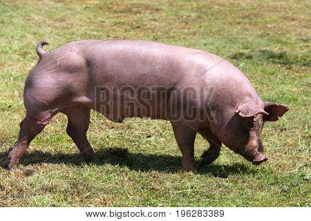 Beautiful young domestic pig breeding on animal farm