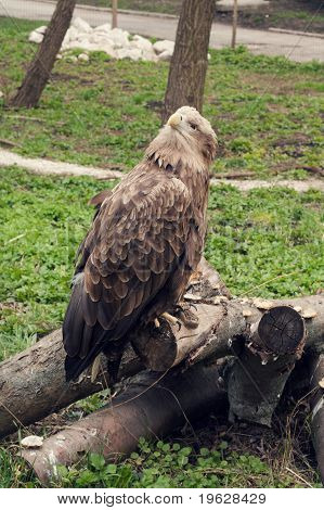 Eagle At The Zoo