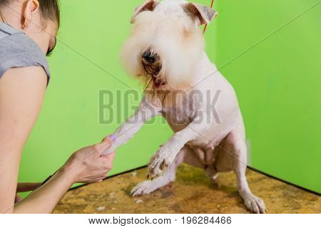 Hairdresser Mows Fur On The Paws Of Fox Terrier