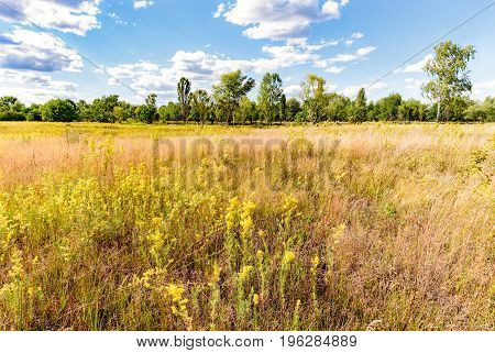 Galium Verum In The Meadow