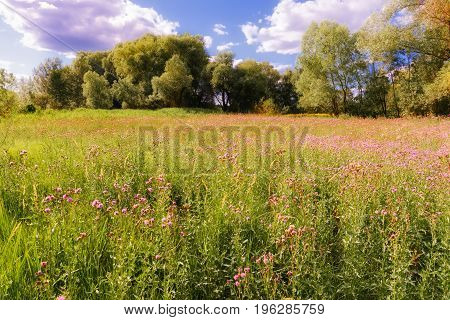 Centaurea Scabiosa Flower In The Meadow.